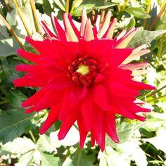 Dahlia.#flowers #flores #nature #naturaleza
