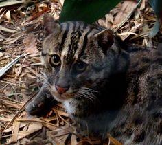 Fotos de Las diez especies de felinos en peligro de extinción