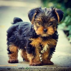 8 Week old yorkie puppy. Photo by Sami Ansari of Hot Rock Pictures… Yorkies, Yorkie Puppy, Teacup Yorkie, Mini Yorkie, Yorky Terrier, Yorshire Terrier, Tiny Puppies, Cute Dogs And Puppies, Corgi Puppies