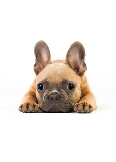 French Bulldog - I want one so bad. Those ears are adorable! Cute French Bulldog, French Bulldog Puppies, French Bulldogs, Cute Puppies, Cute Dogs, Dogs And Puppies, Doggies, Mundo Animal, My Animal