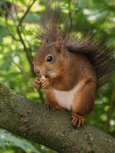 Woodland Creatures, Woodland Animals, Happy Squirrel, Squirrel Pictures, Little Critter, Pure Joy, Chipmunks, Adorable Animals, Panda