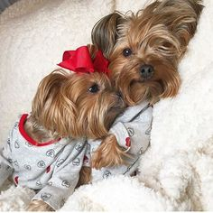 The Popular Pet and Lap Dog: Yorkshire Terrier - Champion Dogs Yorkies, Cute Puppies, Cute Dogs, Yorkie Puppy, Samoyed Puppies, Baby Yorkie, Teacup Yorkie, Puppys, Top Dog Breeds