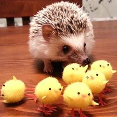#playful #hedgehog