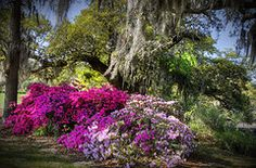 Boone Hall Plantation, Mt Pleasant, SC, did i mention the azlea, there is a whole festival around them!