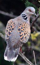Tourterelle des bois © Jean-Marie Poncelet--European Turtle Dove.