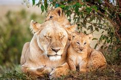 The lioness shuts her eyes in a bid to get a bit of sleep with two of here cubs beside her... #BigCatFamily