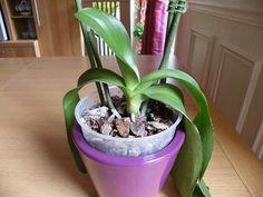 comment entretenir son orchid e naissance d 39 une nouvelle feuille et mort d 39 une feuille. Black Bedroom Furniture Sets. Home Design Ideas