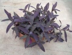 Tradescantia pallida - Purple Heart Plant Care Tips Air Cleaning Plants, Air Plants, Cactus Plants, Indoor Plants, Flowering Plants, Indoor Garden, Outdoor Gardens, Purple Heart Plant, Purple Plants