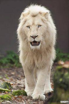 Albino Lion - Spectacular