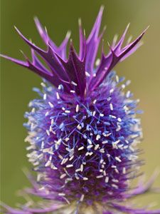 Eryngium.  prickly.