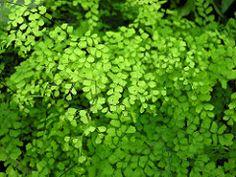 Adiantum concinnum Maidenhair Fern, Herbs, Herb, Medicinal Plants