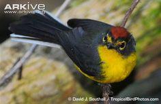 Paria Whitestart, aka Yellow-faced Whitestart, Myioborus pariah, New World Warbler: endemic to the Paria Peninsula in Venezuela - CLB Chim Cảnh Lan Anh