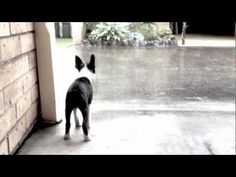 Our Boston Terrier Puppy Stelly - Rainy Day Blues. From our latest post
