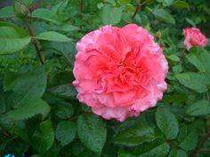Die Rosenblühte 2O16 hat begonnen. Immer wieder mit Freude erwartet. Und der Duft der Rosen durchströmt den Garten. Augusta Luise