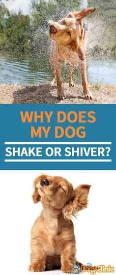 Why do dogs shake? Here are six of the most common reasons - including tips on when you should contact a vet. Whoodle Dog, Dog Growling, Tiny Dog Breeds, Dog Illnesses, Socializing Dogs, Dog Shaking, Dog Leg, Dog Commands, Dog Hacks