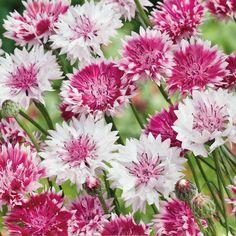 Blåklint, Classic Romantic, Fröer till blåklint crownflower, classic romantic