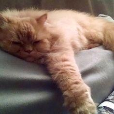 Lotus has relaxation down to an art!  Submitted by: Gloria Cortinas #catlover #catsofinstagram #catstagram #petstagram #pet #catblog #caturday #cattitude #instagramcats #orangecats #orangecatsofinstagram #cat #orangecatsrule #meow