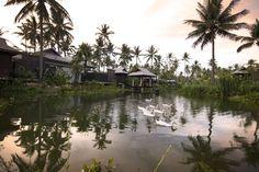 Ducks, Anantara Phuket Villas, Mai Khao Beach, Phuket, Thailand.