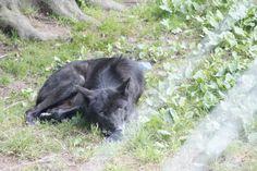 #Timberwolf im #Wolfspark Werner #Freund in #Merzig, #Saarland