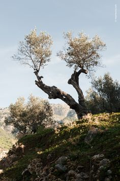 Olive Trees in Deia, Mallorca. Spain