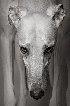 """Early retirement"" ---- [*Gable - 3 year old Greyhound]~[Photograph by Piotr Organa - November 22 2010]'h4d'121112"