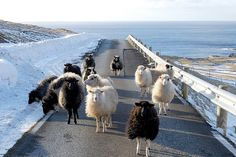 In Famjin on the Faroe Islands, the sheep outnumber people...