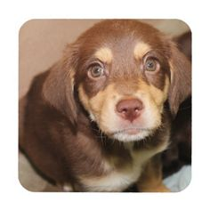 BROWN AND TAN PUPPY COASTERS BEVERAGE COASTER