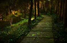 I would love to walk through and see this amazing sight of millions of fireflies