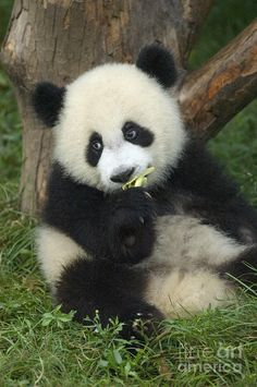 Baby Giant Panda (Ailuropoda melanoleuca) eats bamboo at the Panda Breeding Research Base - Sichuan Province, China