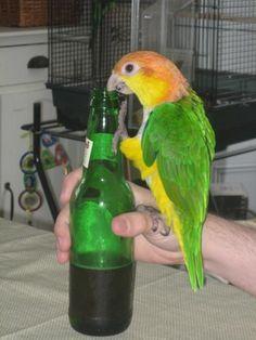 Parrot Polly wanna hangover