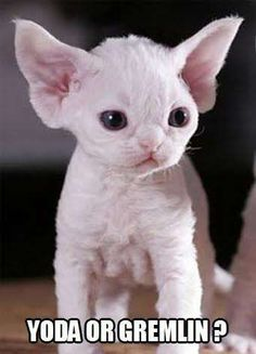 gremlin cat - Google Search