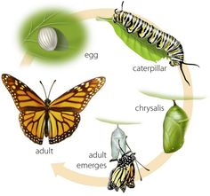 Here in this article, you will see Monarch Butterfly Facts, Habitat, Life Cycle and images. The Monarch Butterfly most beautiful butterfly in the world. Preschool Science, Science Activities, Science Projects, Activities For Kids, Butterfly Crafts, Monarch Butterfly, Butterfly Chrysalis, Cycle Pictures, Butterfly Life Cycle