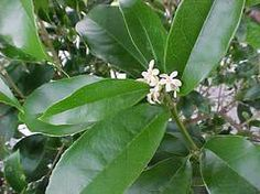 Osmanthus fragrans or Fragrant Olive produces clusters of not particularly showy flowers that have an extremely powerful apricot fragrance Small Shrubs, Small Trees, Evergreen Shrubs, Trees And Shrubs, Shade Garden, Garden Plants, Backyard Shade, Dry Garden, Sweet Olive Tree