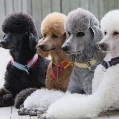 Amazing hand crafted jewellery and accessories available for poodle moms and poodle dads at PawsPassion. Represent your poodle puppy with our amazing merchandise! Poodle Grooming, Dog Grooming, I Love Dogs, Cute Dogs, Giant Poodle, Poodle Cuts, Positive Dog Training, Bulldog Breeds, Pet Breeds