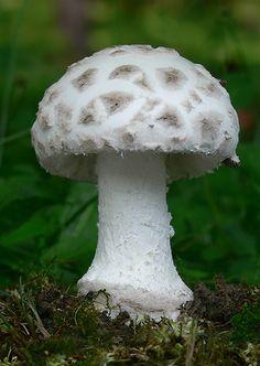 muchotrávka šiškovitá Amanita strobiliformis (Paulet ex Vittad.) Bertill.