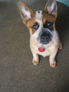 Australian Cattle Dog pup.