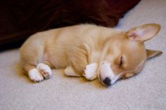 What a darling baby Corgi ♡ Baby Corgi, Cute Corgi Puppy, Corgi Dog, Cute Dogs And Puppies, Cute Animal Photos, Funny Animal Pictures, Pembroke Welsh Corgi Puppies, Dog Heaven, Animals