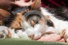Photo about Sleeping with the cat in bed. Image of hair, cocoon, asleep - 51742118 Cat Sleeping, Stock Photos, Cats, Bed, Animals, Image, Gatos, Animales, Stream Bed