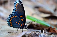 https://flic.kr/p/nTUpws | Limenitis arthemis astyanax | Red-spotted purple butterfly Wakulla County, Florida