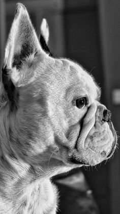 Hendrix, French Bulldog, THE Dog part IV by Fabb Winter on 500px