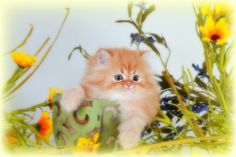Red Tabby Teacup Persian kitten
