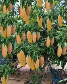 Pin by Kathy Knight on GardenComo plantar pé pitaya no vasFruitz and Vegetable Harvesting in yours backyard garden.Decoration Ideas For Your Home With Plants - 1001 Motive Healthy And Ornamental Fruits To Grow In Containers