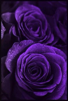 Pretty sure there is not a purple rose out there, I won't mind being corrected. Still, there should be purple roses. Purple Love, All Things Purple, Shades Of Purple, Deep Purple, Purple Stuff, Purple Swag, Purple Shoes, Purple Rain, Dark Purple Flowers