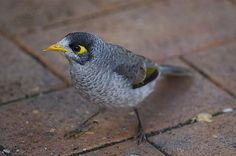 Myna bird ! :)