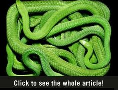 Photographs of Snakes