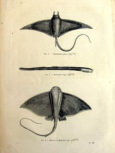 Curious vintage 1860 fishes ray skate engraving rare fishes