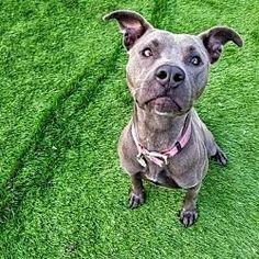 raytown Missouri - Pit Bull Terrier. Meet Callie a for adoption.