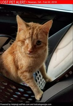 #MEDICAL - He has brain damage from previous owners seizures and luxating patellas. He needs his medication.  Lost Cat - Newnan Ga - Feb. 2 2018 Closest Intersection - Covington Terrace & Newnan Lakes Blvd County - Coewta  #LOSTCAT #Carrot #Newnan (Covington Terrace & Newnan Lakes Blvd)  #GA 30263 #Coweta Co.  #Cat 02-02-2018! Male #Domestic Short Hair Orange/Shorter tail and one eye.He is microchipped but I do not have the number on me.   Note From Owner: Back door was not closed all the…