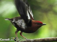 A unique link between birds and arthropods! Scientists have discovered that Club-winged Manakins produce mate attracting songs by rubbing their wings together (at 100 cycles per second)! This creates audible sound producing vibrations - much like a cricket song. This is the first evidence of a bird producing sound in this way, but scientists say more species may be capable of this previously undiscovered behavior! To learn more click the image and then go here: http://www.singingwings.org/