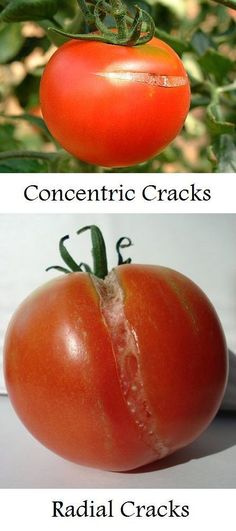 Why a tomato cracks and what to do about it and a lot of other information about caring for tomato plants #tomatoplantsdiy #OrganicGardeningTips